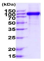 SDS-PAGE - Recombinant human MCSF Receptor protein (Fc Chimera Active) (ab234968)