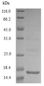 SDS-PAGE - Recombinant <em>E. coli </em> Acidic protein MsyB (His tag) (ab234974)
