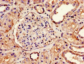 Immunohistochemistry (Formalin/PFA-fixed paraffin-embedded sections) - Anti-Ndufs4 antibody (ab234983)
