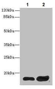 Western blot - Anti-CXX1 antibody (ab234988)