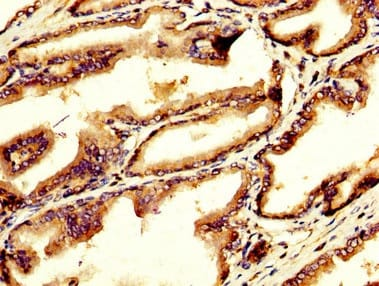 Immunohistochemistry (Formalin/PFA-fixed paraffin-embedded sections) - Anti-GDF10 antibody (ab235005)