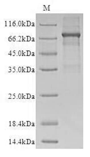 SDS-PAGE - Recombinant human OMA1 protein (Active) (ab235020)
