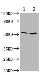 Western blot - Anti-SOFAT antibody (ab235042)