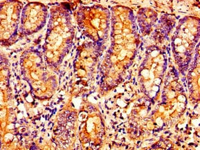 Immunohistochemistry (Formalin/PFA-fixed paraffin-embedded sections) - Anti-5-oxo-ETE GPCR antibody (ab235059)