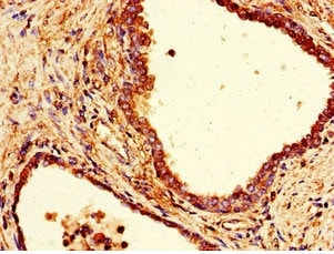 Immunohistochemistry (Formalin/PFA-fixed paraffin-embedded sections) - Anti-COPE antibody (ab235061)