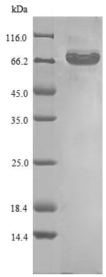 SDS-PAGE - Recombinant Human eIF4G1 protein (Tagged) (ab235068)