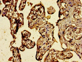 Immunohistochemistry (Formalin/PFA-fixed paraffin-embedded sections) - Anti-C3orf14 antibody (ab235107)