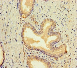Immunohistochemistry (Formalin/PFA-fixed paraffin-embedded sections) - Anti-BMP4 antibody (ab235114)