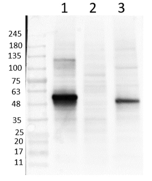 Western blot - Anti-NeuroD1 antibody (ab235145)