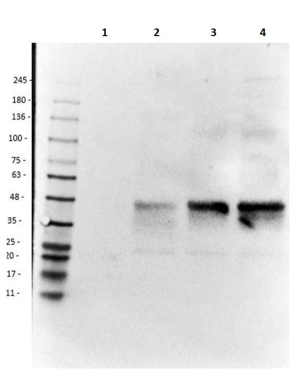 Western blot - Anti-Doublecortin antibody (ab235153)