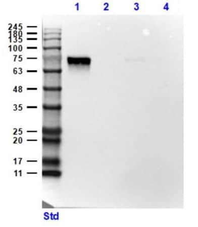 Western blot - Anti-SLC40A1 antibody (ab235166)
