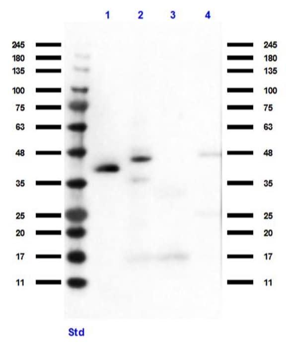 Western blot - Anti-HEY1 antibody (ab235173)