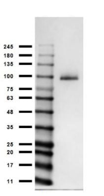 Western blot - Anti-MeCP2 antibody (ab235174)
