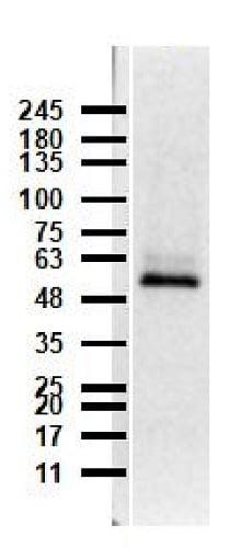 Western blot - Anti-Caspase-12 antibody (ab235180)