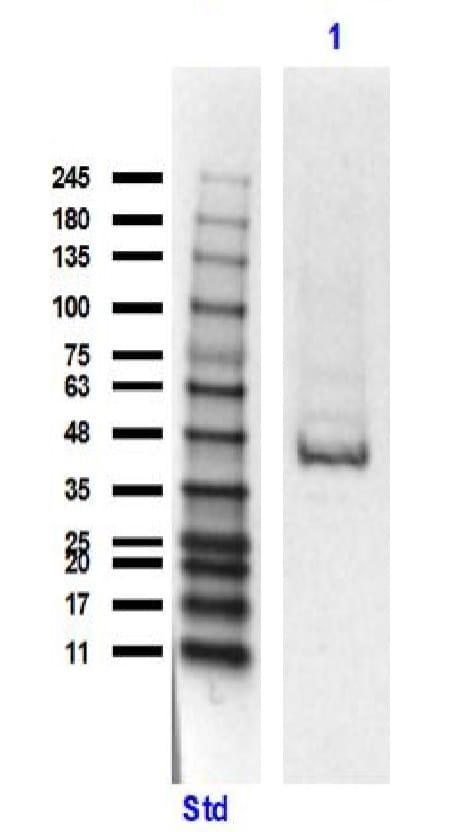 Western blot - Anti-EEF1A2 antibody (ab235190)