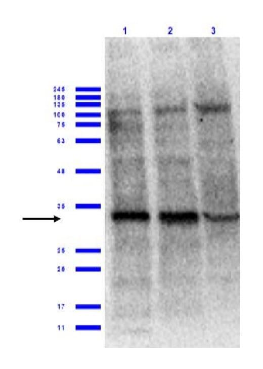 Western blot - Anti-eIF4E antibody (ab235191)