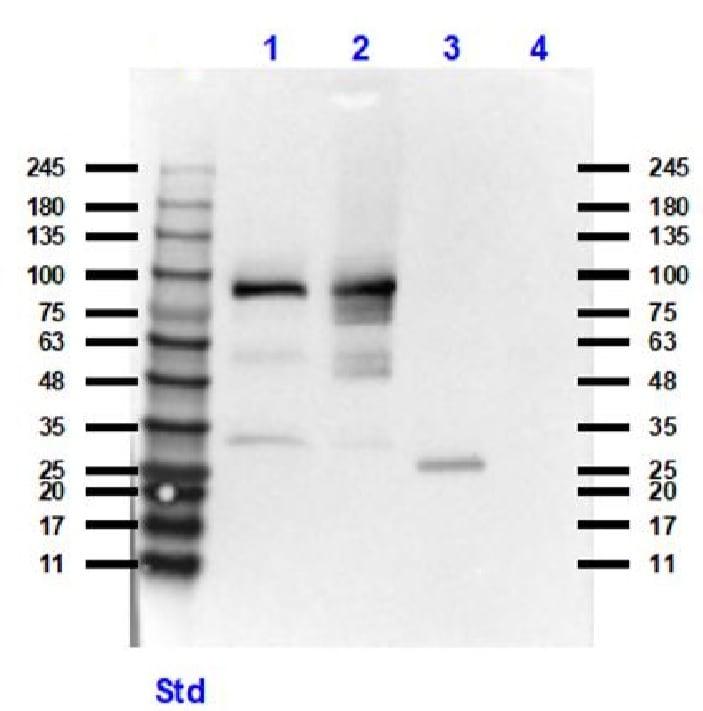 Western blot - Anti-XRCC1 antibody (ab235196)
