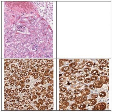 Immunohistochemistry (Formalin/PFA-fixed paraffin-embedded sections) - Anti-ALDH1L1 antibody (ab235197)