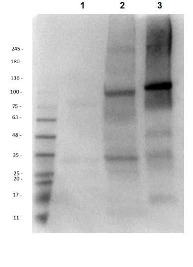 Western blot - Anti-ALDH1L1 antibody (ab235197)