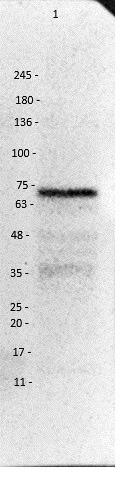 Western blot - Anti-VAChT antibody (ab235201)