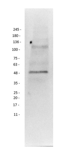 Western blot - Anti-PI 3 Kinase p55 gamma antibody (ab235234)