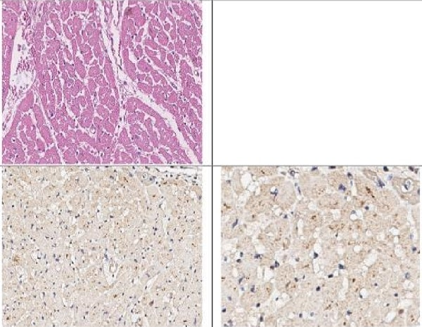 Immunohistochemistry (Formalin/PFA-fixed paraffin-embedded sections) - Anti-EEF1A2 antibody (ab235235)