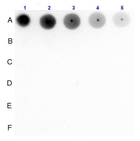 Dot Blot - Anti-Smad2 (phospho S467) antibody (ab235265)