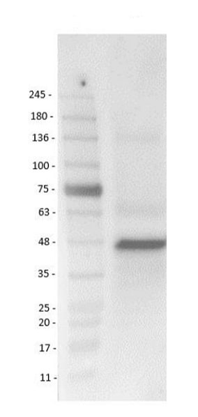 Western blot - Anti-BRN3B / POU4F2 antibody (ab235268)