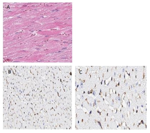 Immunohistochemistry (Formalin/PFA-fixed paraffin-embedded sections) - Anti-Connexin 43 / GJA1 antibody (ab235282)