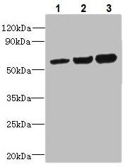 Western blot - Anti-ORP2 antibody (ab235298)
