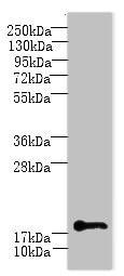 Western blot - Anti-C1orf123 antibody (ab235301)