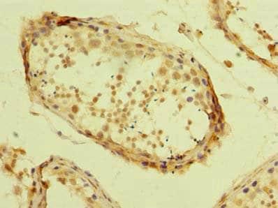 Immunohistochemistry (Formalin/PFA-fixed paraffin-embedded sections) - Anti-TZFP/ZBTB32 antibody (ab235306)