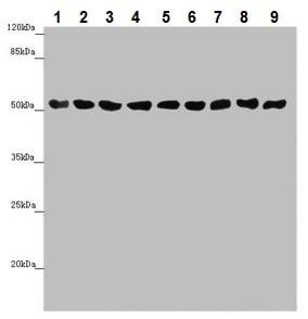 Western blot - Anti-SAMM50/SAM50 antibody (ab235308)