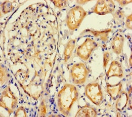 Immunohistochemistry (Formalin/PFA-fixed paraffin-embedded sections) - Anti-IMPACT antibody (ab235323)