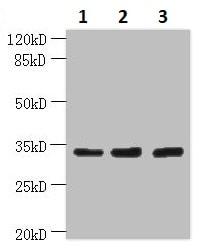 Western blot - Anti-OTUD6B antibody (ab235326)
