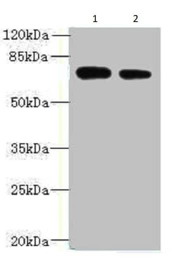 Western blot - Anti-NBPF3 antibody (ab235330)