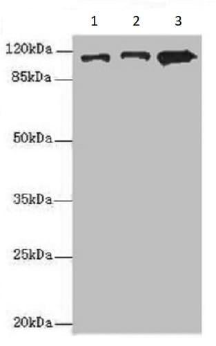 Western blot - Anti-Mov10 antibody (ab235347)