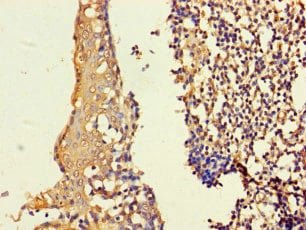 Immunohistochemistry (Formalin/PFA-fixed paraffin-embedded sections) - Anti-ASF1b antibody (ab235358)