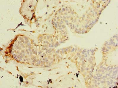 Immunohistochemistry (Formalin/PFA-fixed paraffin-embedded sections) - Anti-TCP11L2 antibody (ab235363)