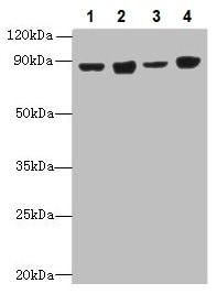 Western blot - Anti-DDX50 antibody (ab235368)