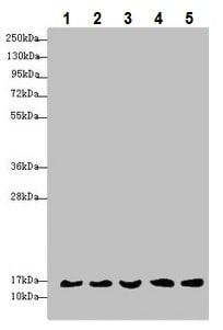 Western blot - Anti-MRPS16 antibody (ab235370)