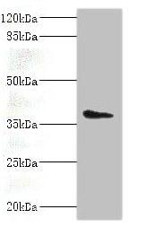 Western blot - Anti-AASDHPPT antibody (ab235376)