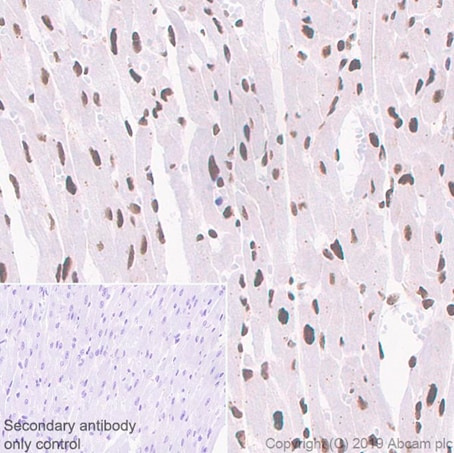 Immunohistochemistry (Formalin/PFA-fixed paraffin-embedded sections) - Anti-WSTF antibody [EP1704Y] - BSA and Azide free (ab235388)