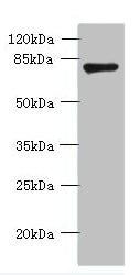 Western blot - Anti-FBXO30 antibody (ab235393)