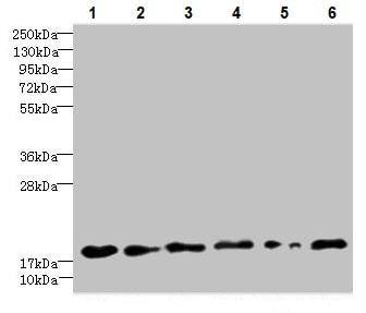 Western blot - Anti-C5orf24 antibody (ab235404)