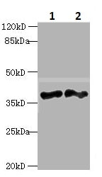 Western blot - Anti-DNAJB4 antibody (ab235406)
