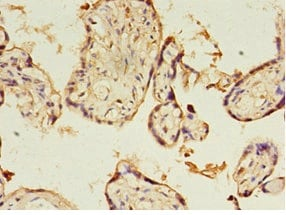 Immunohistochemistry (Formalin/PFA-fixed paraffin-embedded sections) - Anti-KIAA1191 antibody (ab235411)