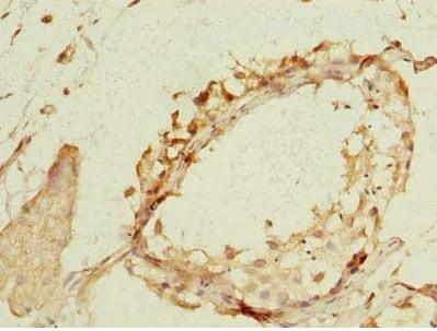 Immunohistochemistry (Formalin/PFA-fixed paraffin-embedded sections) - Anti-NEK11 antibody (ab235413)