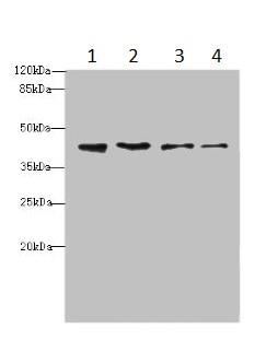 Western blot - Anti-NUP43 antibody (ab235420)