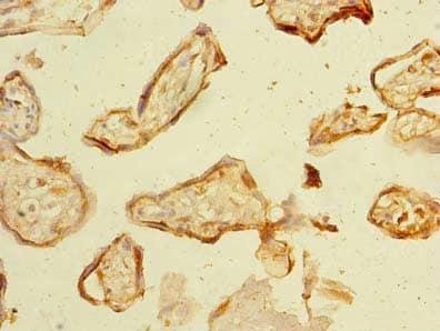 Immunohistochemistry (Formalin/PFA-fixed paraffin-embedded sections) - Anti-NHLRC2 antibody (ab235426)